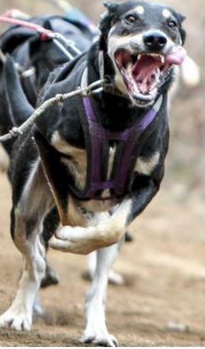MUSH HI TECH VOUS PRESENTE SES NOUVEAUTÉS 2015 :  - HARNAIS MHT conçus en collaboration avec l'équipe GONSOLIN pour un meilleur confort du         chien, disponibles aussi en doublure néoprène. - BOTTINES DOUBLÉES TISSUS ET DOUBLÉES POLAR  - LONGE DE TRAIT DYNEMA ( Spectra) MUSH HI TECH SERA PRESENT AUX CHAMPIONNATS DU MONDE DRYLAND A BRISTOL DU MERCREDI  28 OCTOBRE AU DIMANCHE 1er NOVEMBRE.